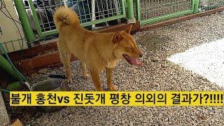 영월 토종진돗개 불개 홍천 vs 진돗개 평창 의외의 결…