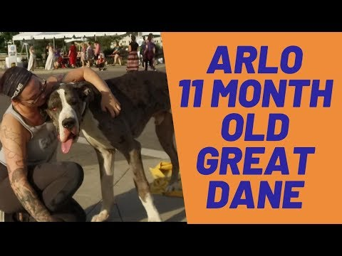 Arlo | 11 Month Old Great Dane | Large Breed Training | Off Leash | E-Collar Training