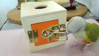 ウロコインコ がっちゃん 今日はオレンジの箱やってみました。 本人(本...