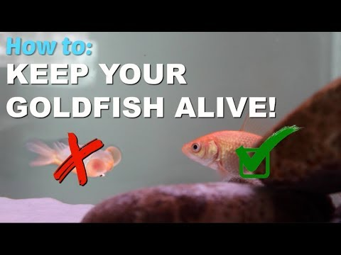 How To Keep Your Goldfish Alive?