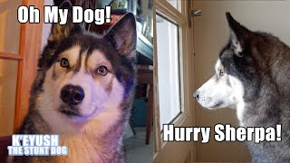 Husky Shocked He's Reunited With Best Friend For Christmas!