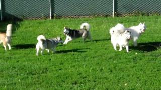 Let The Fur Fly - Omaha Siberian Husky Play Group