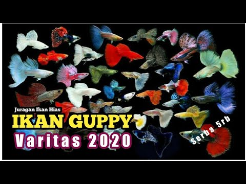 Aneka Varitas Guppy Akhir Tahun 2020 Ikan Hias Guppy Banda Aceh Youtube