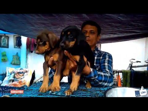 ENERGETIC DOBERMAN PINSCHERS AT GALIFF STREET PET MARKET KOLKATA // doberman puppy