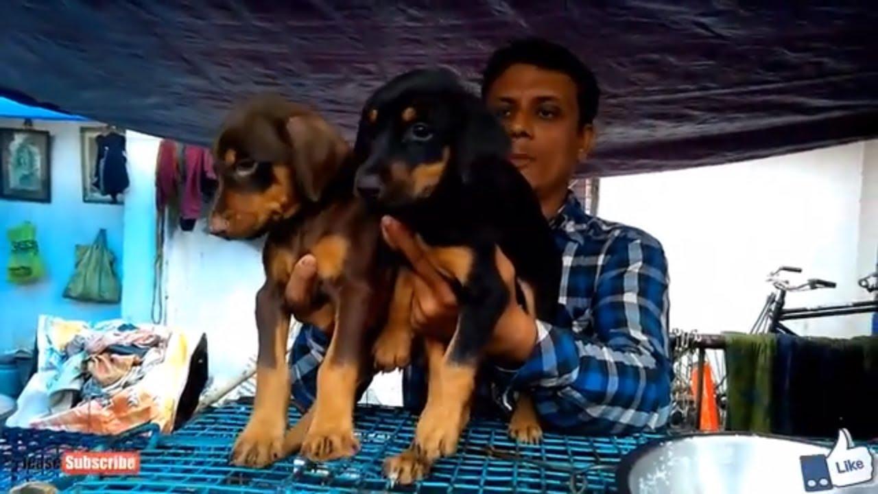 Energetic Doberman Pinschers At Galiff Street Pet Market Kolkata