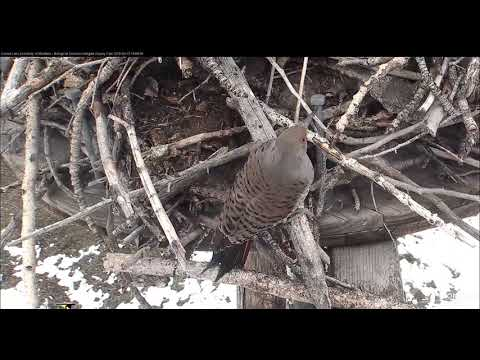 Northern Flicker vists & chirps     14 59    Video 2018 02 15 171723