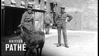 Welsh Guards' Goat Meets Dog Aka Welsh Guards Mascot (1914-1918)