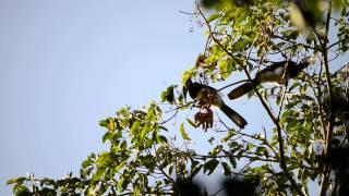 Anthracoceros albirostris, oriental pied hornbill - Khao Yai National Park