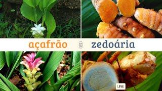 Açafrão e Zedoária - Conversando sobre plantas medicinais com Marcos Guião