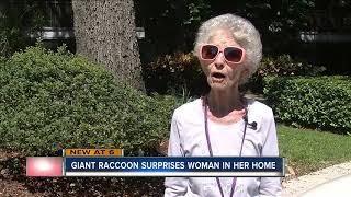 Big raccoon finds it's way onto Palm Harbor woman's vanity