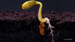 Root Growth Timelapse   Soil Cross Section