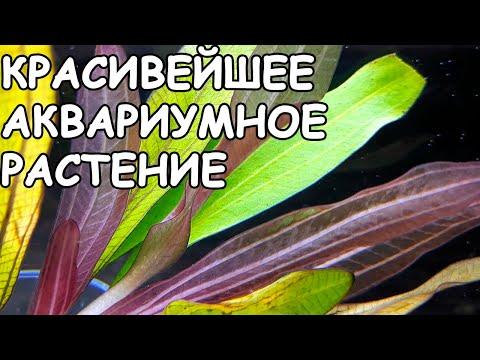 ЭХИНОДОРУС ХОРЕМАНИ РЕД / Echinodorus 'Horemanii Red'