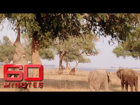 Female wildlife rangers on the front-line to protect African elephants | 60 Minutes Australia