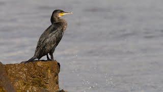 Curs d'identificació d'aus. 2 - Les aus marines