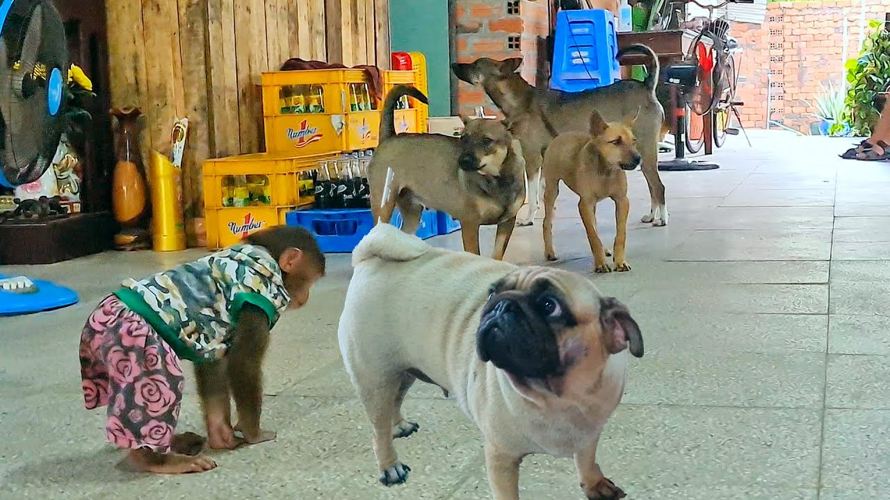 Asher Jr wants to get to know the dogs! funny  make you