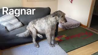 Meet Austonley Irish Wolfhounds
