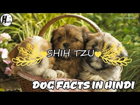 Shih Tzu Dog Facts | Hindi | Dog Facts | HINGLISH FACTS