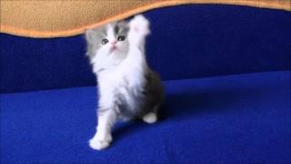 Мальчик голубой мраморный биколор хайленд