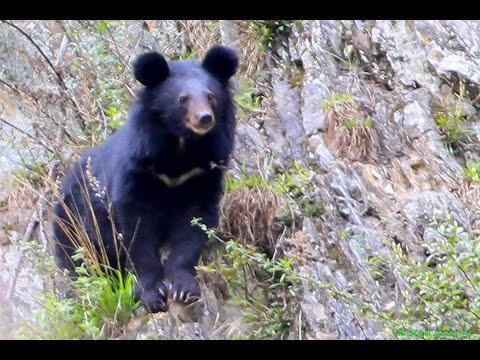 WILD MOON BEAR SIGHTING, SICHUAN PROVINCE CHINA