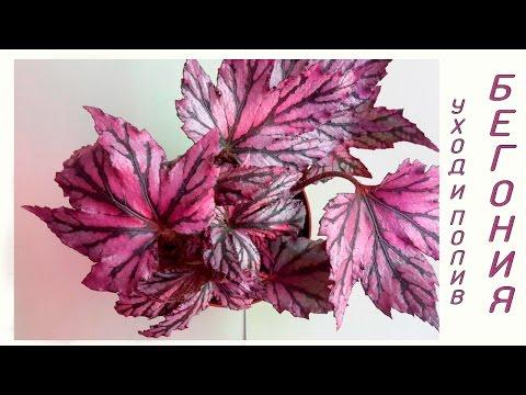 Бегония (Begonia) уход и полив