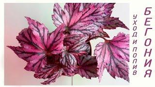Бегония (Begonia) уход и полив(КЛАССИФИКАЦИЯ БЕГОНИЙ Все виды и сорта бегонии условно под- разделяют на красивоцветущие и деко-ративно-ли..., 2016-08-03T23:54:20.000Z)