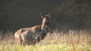 Elk Bugling in Cataloochee Valley