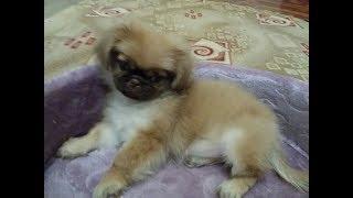 Купили собаку породы Пекинес