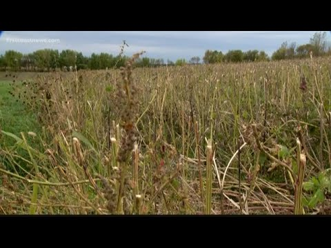 Industrial hemp on the rise as cash crop in Florida