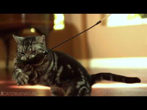 Animals For Hollywood: Silver Classic Tabby Cat Team