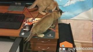 VIPLEO® - самые редкие и уникальные кошки в мире.