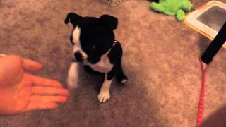 Charlie The Boston Terrier Puppy 9 Weeks Old Tricks!!