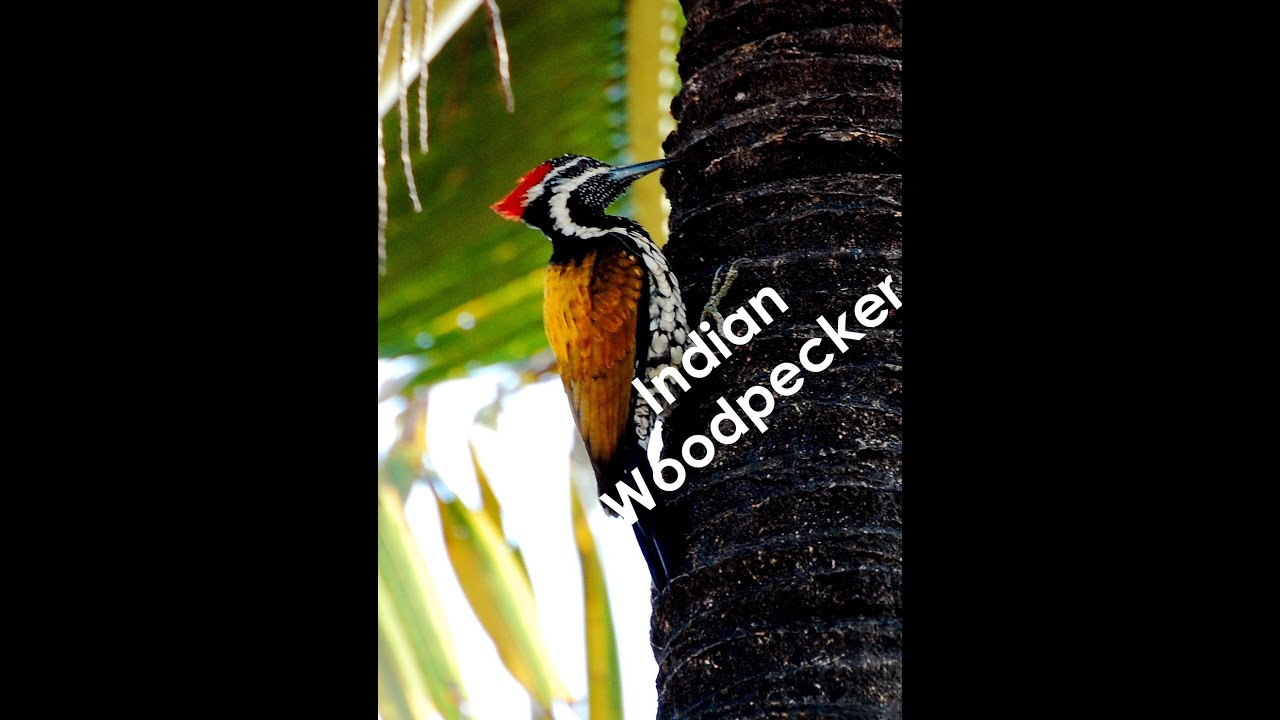 indian woodpecker making holes / nest - indian birds - youtube
