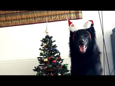 Feels Like Belgian Shepherds and Christmas // Chewie The Groenendael
