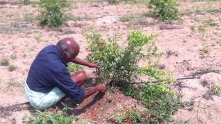 Abhaya Farms - Pomegranate Pruning at 4 months