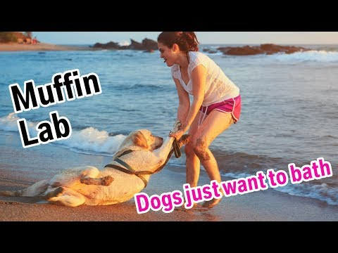 Dogs just want to bath | Funny Labrador puppy bathing