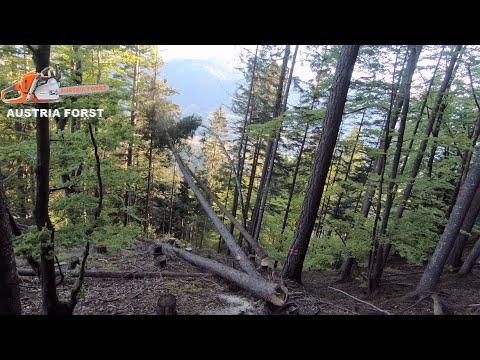 Fällen Von Borkenkäfer Befallenen Holz
