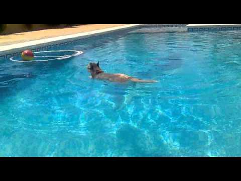 siberian husky piscina 'maya'