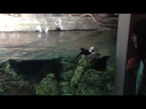 Horned Puffin At The Monterey Bay Aquarium Can't Get Enough Of This Little Girl