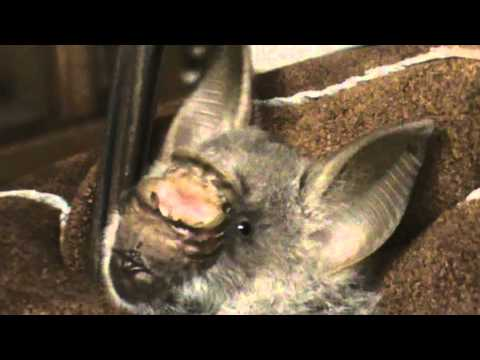 C'est tres cool! - Giant Leaf-nosed Bat Hipposideros gigas in Gabon
