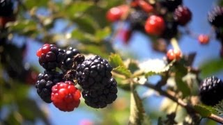 Harvesting Blackberries | At Home With P. Allen Smith