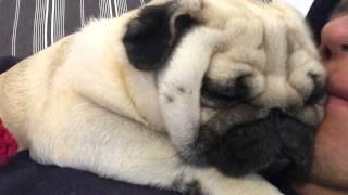 Pug kisses we all need cuddles sometimes!