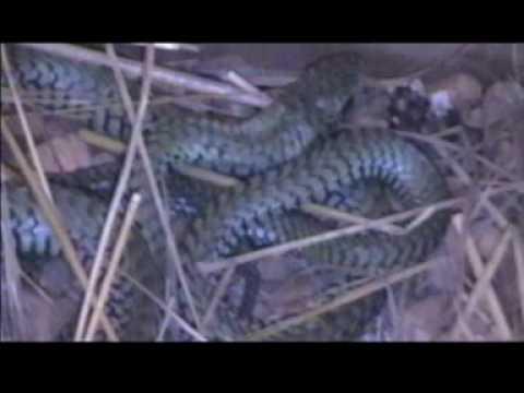 Boomslang or tree snake