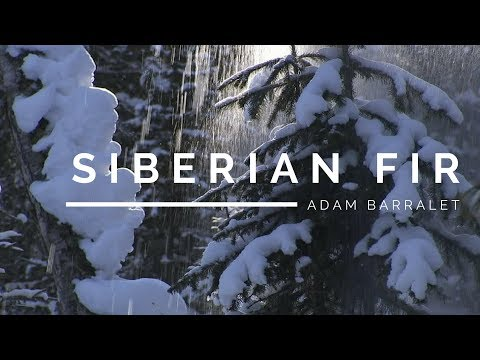 Siberian Fir - The Oil of Frosty Might