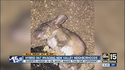New rat hybrid causing damage at homes