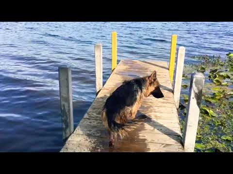 Dogs swimming at the lake