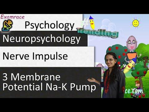 Nerve Impulse - 3 Membrane Potential Na-K Pump