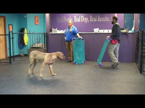 Fear Aggressive Mastiff Day 3