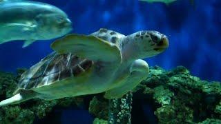 Abe the Sea Turtle Departs Aquarium to Return to the Wild