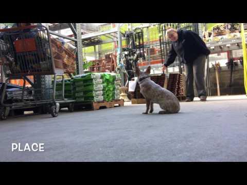 Mini Australian Cattle Dog Puppy dog training, Off Leash K9 Training, Maryland/DC area