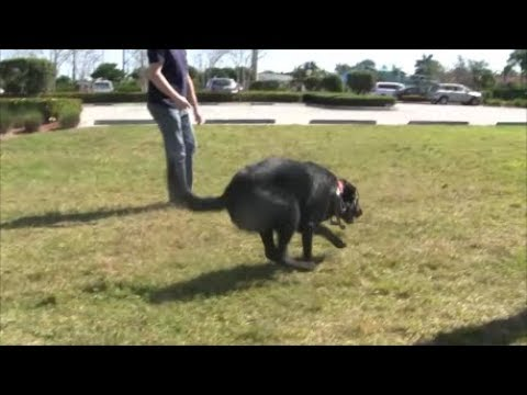 A Great Dog Training System - always surprises and challenges the dogs known commands